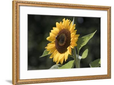 Sunflower--Framed Photographic Print