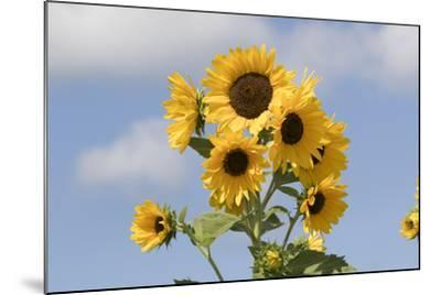 Sunflower--Mounted Photographic Print