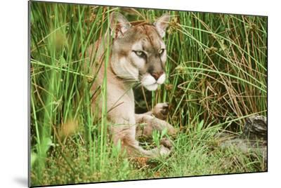 Florida Panther--Mounted Photographic Print