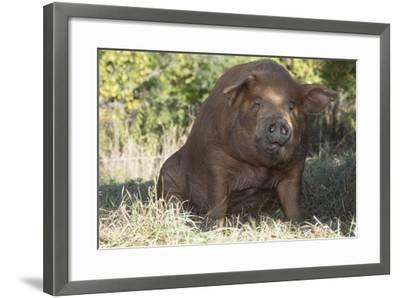 Pig--Framed Photographic Print