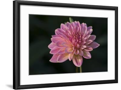 Garden Flower--Framed Photographic Print