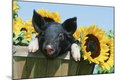 Pig--Mounted Photographic Print