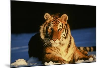 Tiger--Mounted Photographic Print