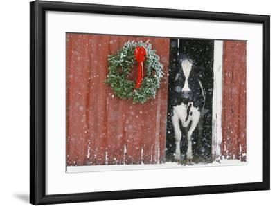 Holstein Cow--Framed Photographic Print