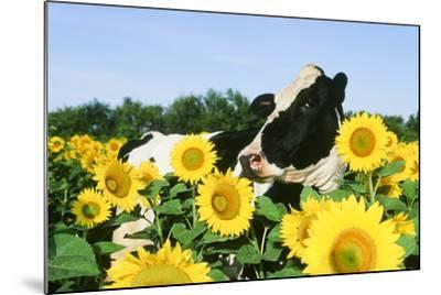 Holstein Cow--Mounted Photographic Print