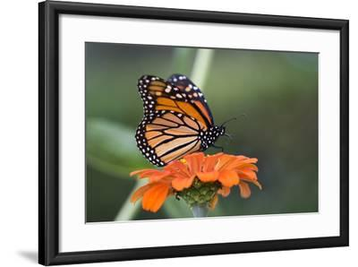 Monarch Butterfly--Framed Photographic Print