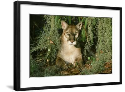 Florida Panther--Framed Photographic Print