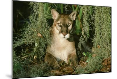 Florida Panther--Mounted Photographic Print