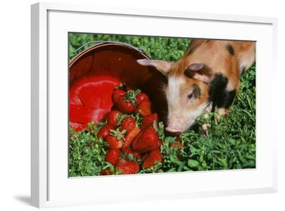 Pig--Framed Photographic Print