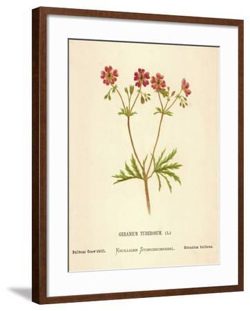 Geranium Tuberosum-Hulton Archive-Framed Photographic Print