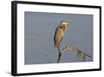 Great Blue Heron-Lynn M^ Stone-Framed Photographic Print
