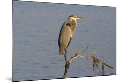 Great Blue Heron-Lynn M^ Stone-Mounted Photographic Print