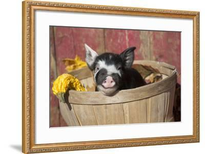 Pig-Lynn M^ Stone-Framed Photographic Print