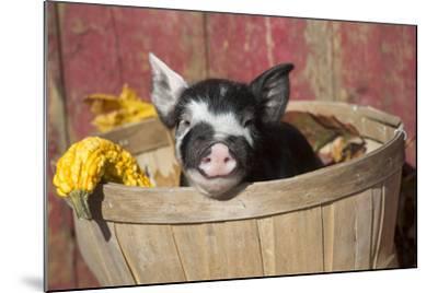 Pig-Lynn M^ Stone-Mounted Photographic Print