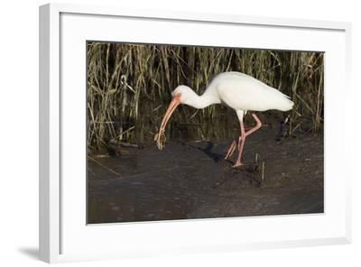 White Ibis-Lynn M^ Stone-Framed Photographic Print