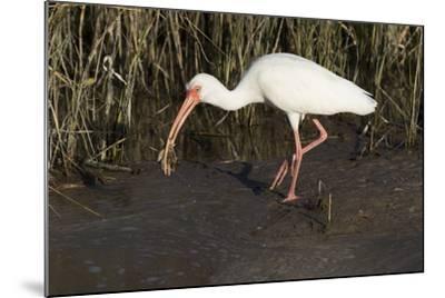 White Ibis-Lynn M^ Stone-Mounted Photographic Print