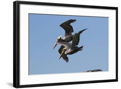 Brown Pelican-Lynn M^ Stone-Framed Photographic Print