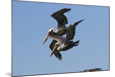 Brown Pelican-Lynn M^ Stone-Mounted Photographic Print