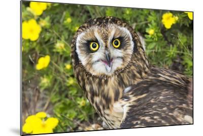 Short-Eared Owl-Lynn M^ Stone-Mounted Photographic Print