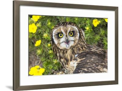 Short-Eared Owl-Lynn M^ Stone-Framed Photographic Print