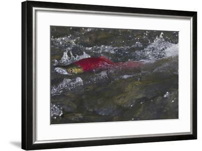 Sockeye Salmon-Lynn M^ Stone-Framed Photographic Print