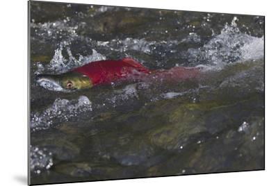 Sockeye Salmon-Lynn M^ Stone-Mounted Photographic Print