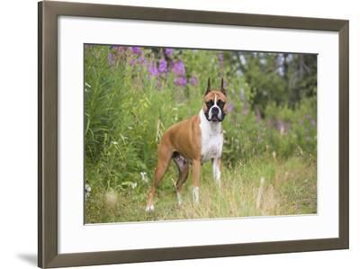 Boxer-Lynn M^ Stone-Framed Photographic Print