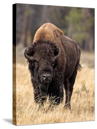 Bull Bison-Larry McFerrin-Stretched Canvas Print
