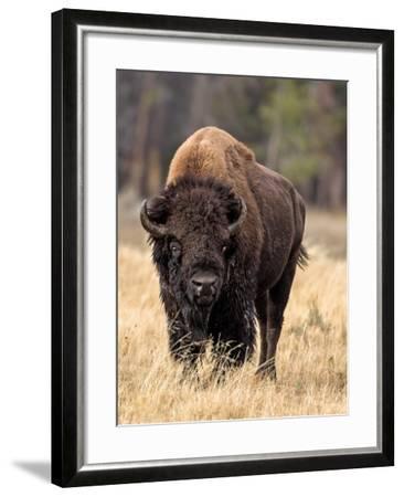 Bull Bison-Larry McFerrin-Framed Photo