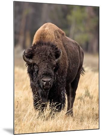 Bull Bison-Larry McFerrin-Mounted Photo