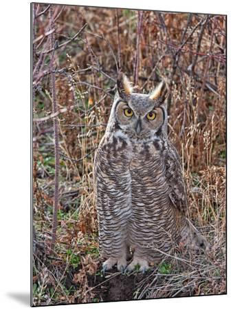 Great Horned Owl-Larry McFerrin-Mounted Photo
