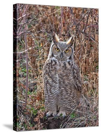 Great Horned Owl-Larry McFerrin-Stretched Canvas Print