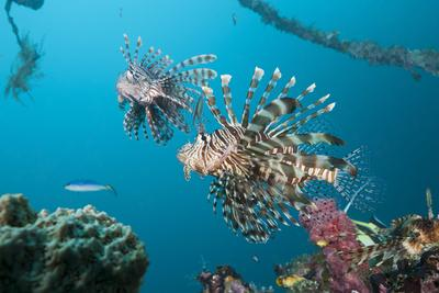 Red Lion Fish in the Mbike Wreck, Pterois Volitans, Florida Islands, the Solomon Islands-Reinhard Dirscherl-Framed Photographic Print