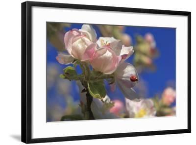 Ladybird on Apple Blossom-Ludwig Mallaun-Framed Photographic Print