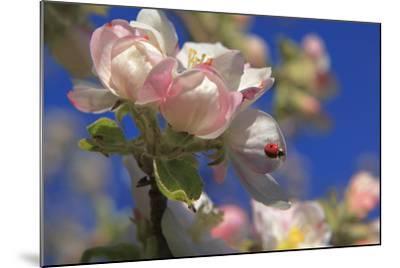 Ladybird on Apple Blossom-Ludwig Mallaun-Mounted Photographic Print