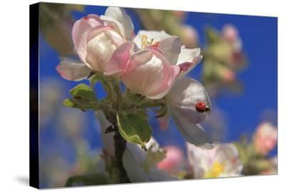 Ladybird on Apple Blossom-Ludwig Mallaun-Stretched Canvas Print