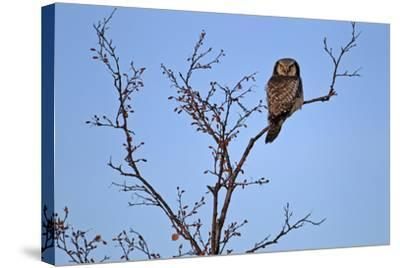 Europe, Sweden, Sparrow Hawk's Owl,-Bernd Rommelt-Stretched Canvas Print