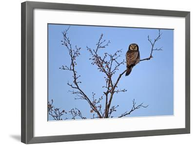 Europe, Sweden, Sparrow Hawk's Owl,-Bernd Rommelt-Framed Photographic Print