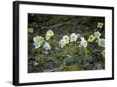 Austria, Thiersee, Snow Roses-Ludwig Mallaun-Framed Photographic Print