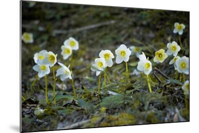 Austria, Thiersee, Snow Roses-Ludwig Mallaun-Mounted Photographic Print