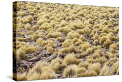 Chile, Pampas Incahuasi, Ischu Grass-Jutta Ulmer-Stretched Canvas Print