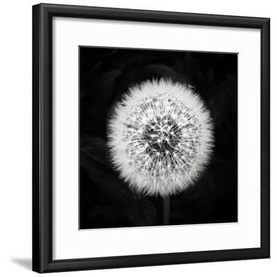 Dandelion-Mary Woodman-Framed Photographic Print