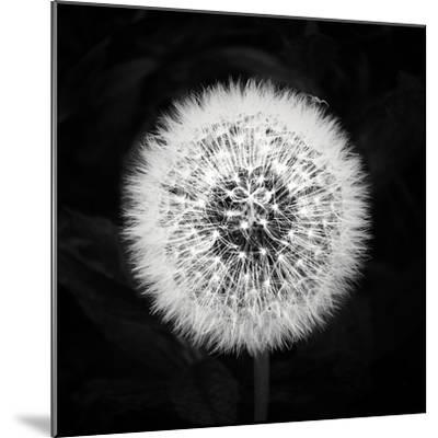 Dandelion-Mary Woodman-Mounted Photographic Print