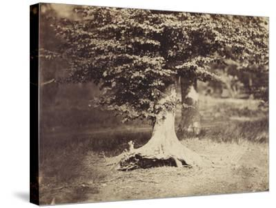 The Beech Tree, c.1855-7-Gustave Le Gray-Stretched Canvas Print
