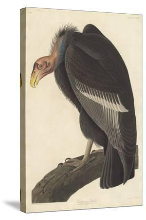 Californian Vulture, 1838-John James Audubon-Stretched Canvas Print