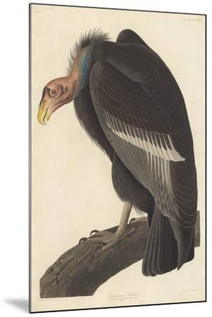 Californian Vulture, 1838-John James Audubon-Mounted Giclee Print