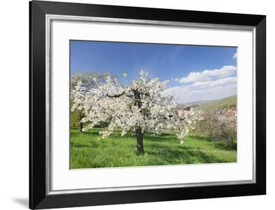 Fruit-Tree Blossom, Strumpfelbach, Baden Wurttemberg, Germany-Markus Lange-Framed Photographic Print