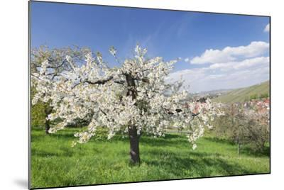 Fruit-Tree Blossom, Strumpfelbach, Baden Wurttemberg, Germany-Markus Lange-Mounted Photographic Print