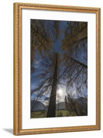 Photographed Larches in the Sunlight, Toward the Sky-Niki Haselwanter-Framed Photographic Print