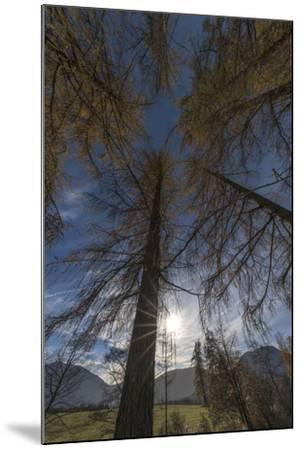 Photographed Larches in the Sunlight, Toward the Sky-Niki Haselwanter-Mounted Photographic Print